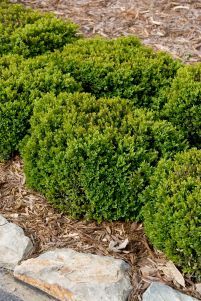 Green Velvet Boxwood hedge, Buxus 'Green Velvet', at Visalia CA USA